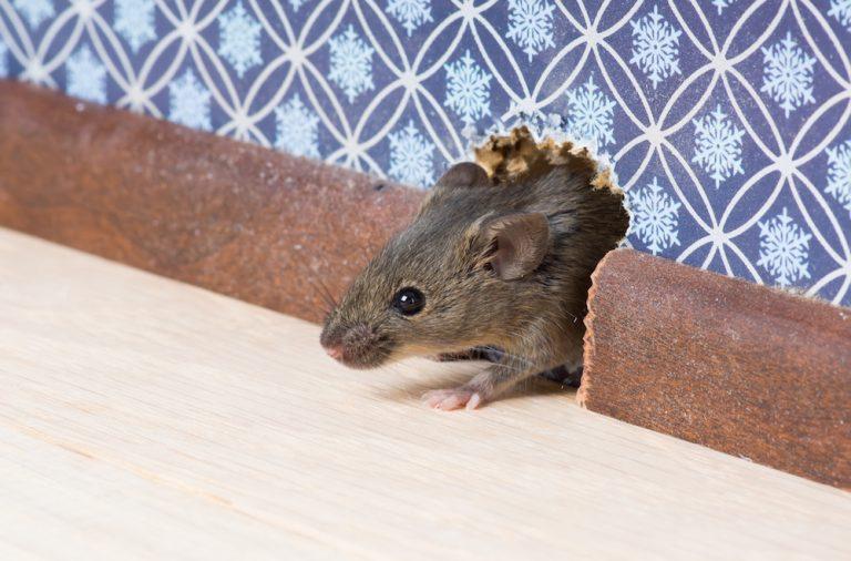 Get Rid of Mice in Walls and Attics
